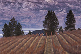 Vineyard and Lake  West Kelowna  Okanagan Valley  British Columbia  Canada
