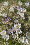Spring Crocu  South Tyrolean Alps  Meadow  Moelten  South Tyrol  Italy