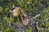 Black-Crowned Night Heron Bird in the Danube Delta  Nest and Chick  Romania