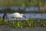 Little Egret Bird with Dragonfly Larvae on Beak  Danube Delta Romania