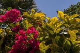 Bougainvillea Flowers  Bavaro  Higuey  Punta Cana  Dominican Republic
