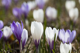 Spring Crocus Flowers  Eastern Alps  South Tyrol  Italy
