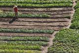 Terraced Vegetable Farm  Banaue  Ifugao Province  Philippines