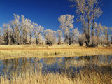 View of Cottonwood Tree in Autumn  Evanston  Wyoming  USA