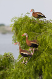 Black-Bellied Whistling Duck Perched in South Texas Habitat  USA