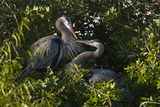 Great Blue Heron (Ardea Herodias) Bird  Pair in Habitat  Texas  USA