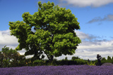 Lavender Festival  Willakenzie Lavender Farm  Yamhill  Oregon  USA