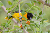 Baltimore Oriole Bird Foraging During Migration on South Padre Island  Texas  USA