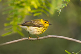 Cape May Warbler Bird  Juvenile Male Foraging During Migration