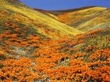 California Golden Poppy Flower at Tehachapi Mountains  California  USA