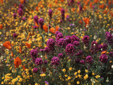 Owl's Clover  Coreopsis  California Poppy Flowers at Antelope Valley  California  USA