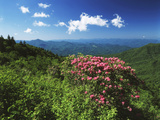 Catawba Rhododendrons  Blue Ridge Parkway  Pisgah National Forest  North Carolina  USA