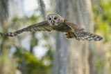 Barred Owl (Strix Varia) in Bald Cypress Forest on Caddo Lake  Texas  USA