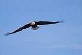 Eagle in Flight  Homer  Alaska  USA