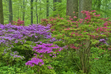 Blooming Azaleas in Forest  Winterthur Gardens  Delaware  USA