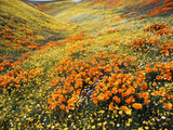 View of California Golden Poppy Flowers on Hill  Antelope Valley  California  USA
