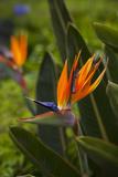 Bird of Paradise Flower  Kula Botanical Garden  Upcountry  Maui  Hawaii  USA