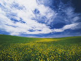 View of Wild Mustard Flowers Field  Washington  USA