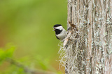Carolina Chickadee Bird  Adult Male Singing on Territory  May