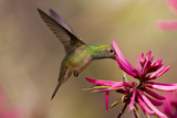 Buff-Bellied Hummingbird (Amazilia Yucatanensis) Feeding at Coral Bean Flower