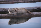 Harbor Seal on Dock  10th Street Marina Park  Port of Everett  Washington  USA