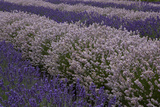Farm Rows of Lavender in Field at Lavender Festival  Sequim  Washington  USA