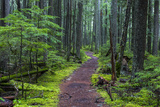 Hiking Path Winds Through Mossy Rainforest in Glacier National Park  Montana  USA