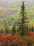 Autumn on the Taiga  Denali National Park  Alaska  USA