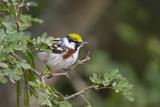 Chestnut-Sided Warbler Bird  Male During Spring Migration