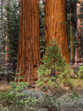 Giant Sequoias  Yosemite National Park  California  USA