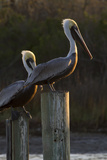 Brown Pelican Bird Sunning on Pilings in Aransas Bay  Texas  USA
