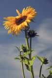 Sunflowers  Hood River  Oregon  USA
