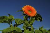 Sunflower Portrait  Sunflower Festival  Hood River  Oregon  USA