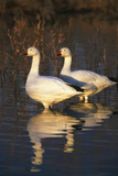 Geese Standing in Pool  Bosque Del Apache National Wildlife Refuge  New Mexico  USA