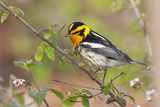 Blackburnian Warbler Bird Adult Male Foraging for Insects in Lantana Garden