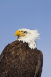 Eagle Portrait  Homer  Alaska  USA