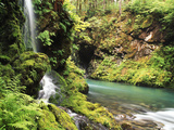 Old-Growth Rainforest  Graves Creek Tributary  Olympic National Park  Washington State  USA