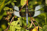 Male Widow Skimmer Bird  Freeway Ponds Park  Albany  Oregon  USA