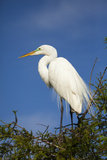 Egret Bird in Breeding Plumage  Saint Augustine's Alligator Farm  Florida  USA