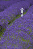 Farm Birdhouse with Rows of Lavender at Lavender Festival  Sequim  Washington  USA