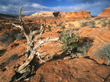 Twisted Tree and Sandstone Formations  Coyote Buttes Area  Paria Canyon  Arizona  USA