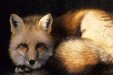 Red Fox Wildlife  New Mexico  USA
