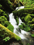 Quinalt Rainforest with Graves Creek Tributary  Olympic National Park  Washington State  USA