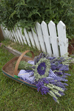 Garden  Dried Lavender at Lavender Festival  Sequim  Washington  USA