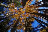 View of Aspen Trees Looking into Sky  Alaska  USA