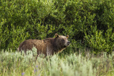 Grizzly Bear Sow in Grand Teton National Park  Wyoming  USA