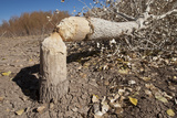 Cottonwood Tree Cutting by Beavers  New Mexico  USA