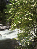 Pacific Dogwood Tree  Merced River  Yosemite National Park  California  USA