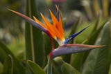 Bird of Paradise Flower  Kula Botanical Garden  Upcountry  Maui  Hawaii  USA