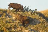 Bison Wildlife on Embankment  Theodore Roosevelt National Park  North Dakota  USA
